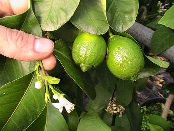 """Citrus limetta """"SWEET"""" ( Risso ) - Carrizo"""