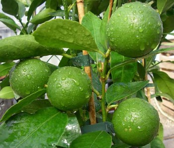 "Citrus aurantifolia ""WEST INDIAN"" (Christm.) Swing. - Citrumelo"