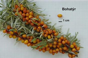 """Hippophae rhamnoides (L.) """"BOHATÝR"""" - Rakytník řešetlákový"""