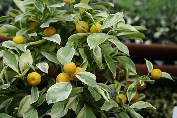 "Citrus madurensis Lour. ""CALAMONDIN VARIEGATA"" - Citrumelo"
