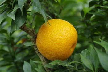 "Citrus myrtifolia ( Raf. ) ""CHINOTO"" - Citrumelo"