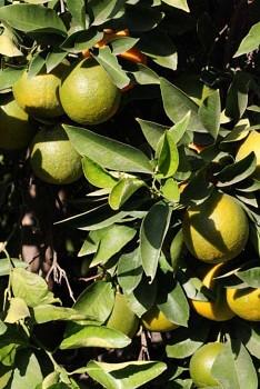"""Citrus aurantium """"STANDARD"""" L. - Citrumelo"""