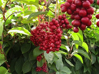 Schisandra chinensis (Turcz.) - Klanopraška čínská