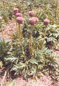 Leuzea carthamoides (DC.) - MARALOVÝ KOŘEN - Rhaponticum(Willd.)
