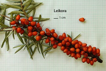 """Hippophae rhamnoides (L.) """"LEIKORA"""" - Rakytník řešetlákový"""