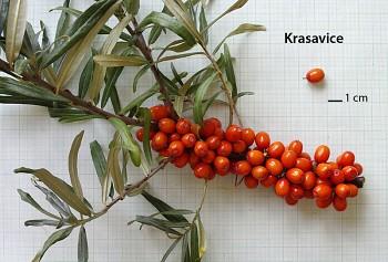 "Hippophae rhamnoides (L.) ""KRASAVICE"" - Rakytník řešetlákový"