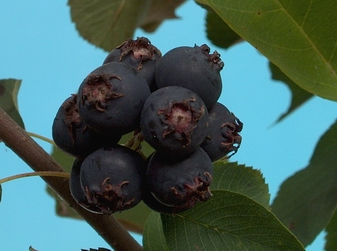 Amelanchier alnifolia var.Cusickii (Fern.) - Muchovník olšolistý